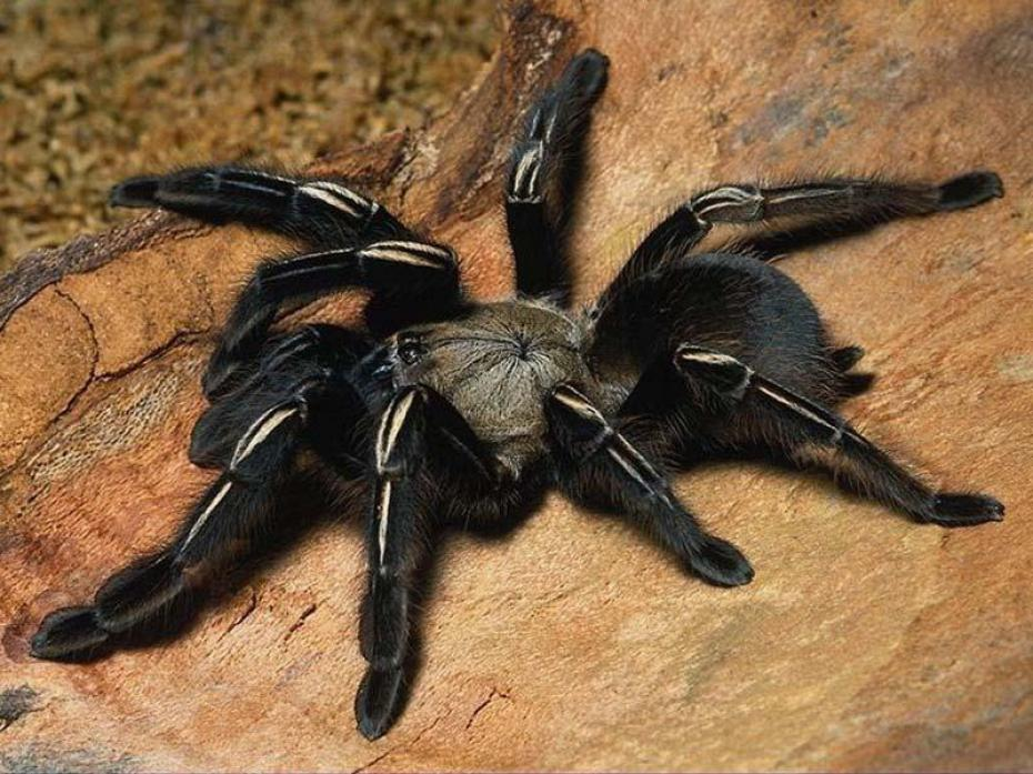 araignee-noire