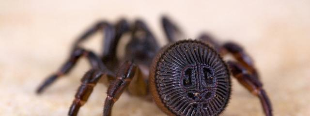 cyclocosmia-araignee-spider