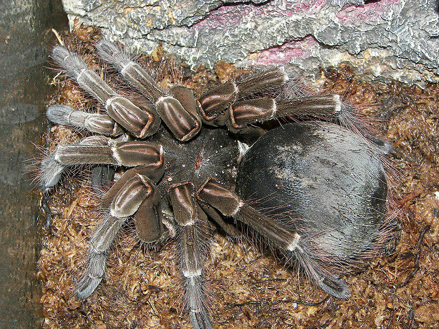 labananequiparle-araignee-goliath-2